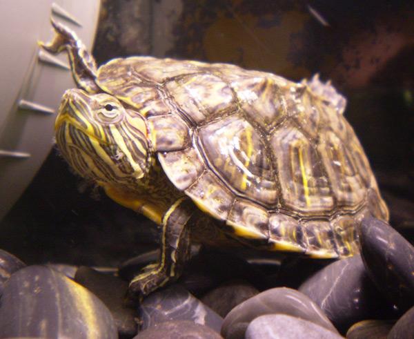 Tražimo najstariju fotografiju unesene crvenouhe kornjače