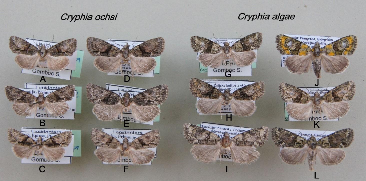 Cryphia ochsi