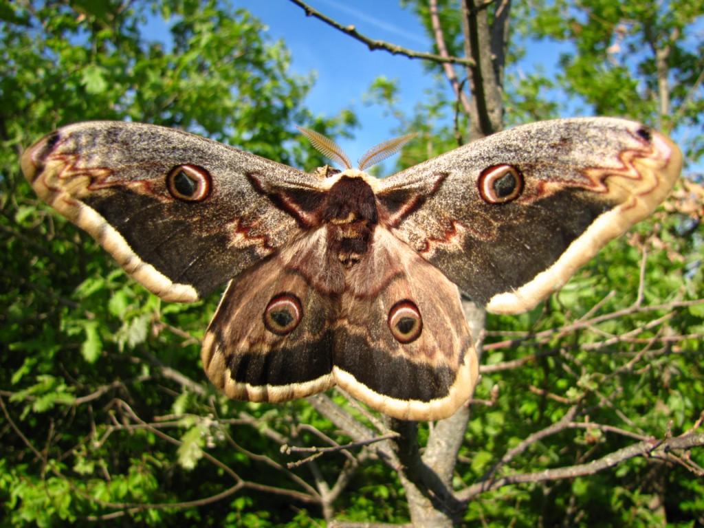 Prvi popis noćnih leptira Motovunske šume