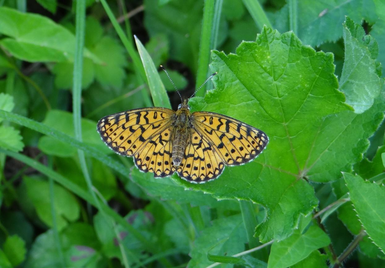Prvo sustavno istraživanje danjih leptira Parka prirode Medvednica