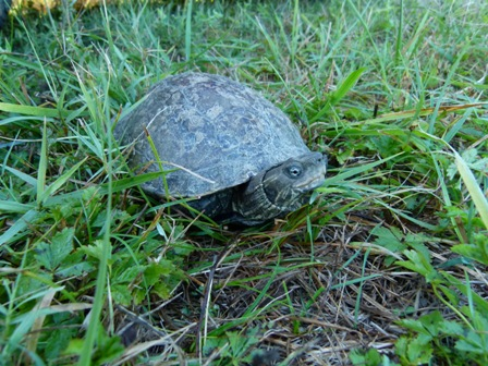 Istraživanja riječne kornjače, 2015.