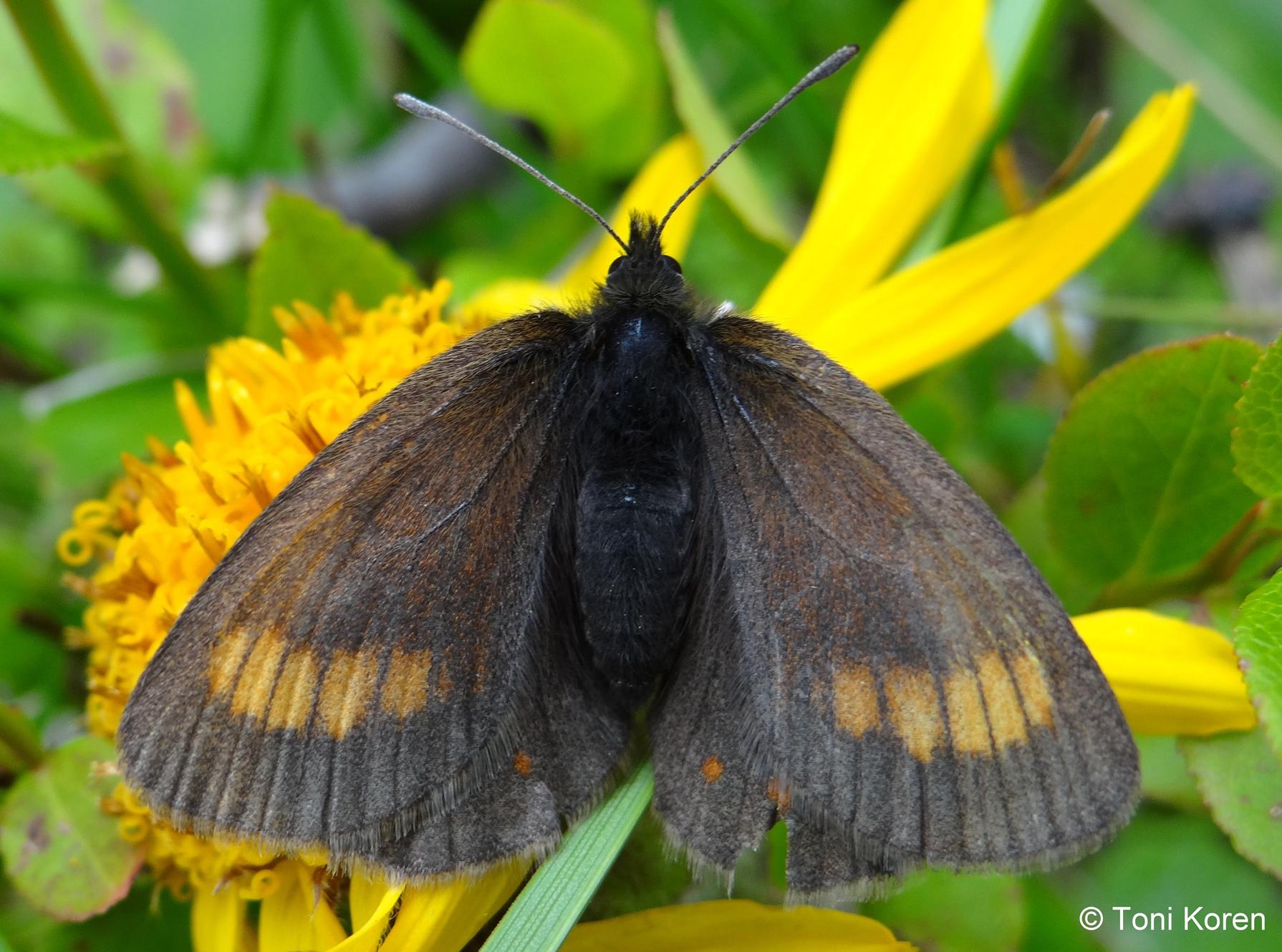 zDSC03087 Erebia pharte Nymphalidae Lepidoptera