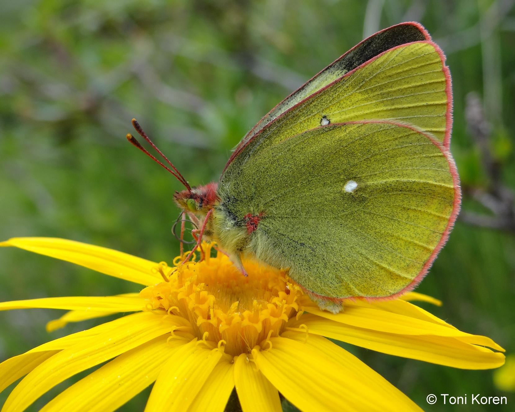 zDSC03119 Colias paleno Pieridae Lepidoptera