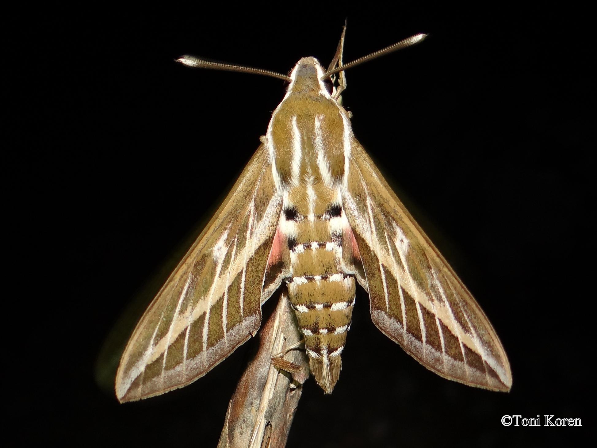 Istraživali smo faunu danjih i noćnih leptira Lokruma