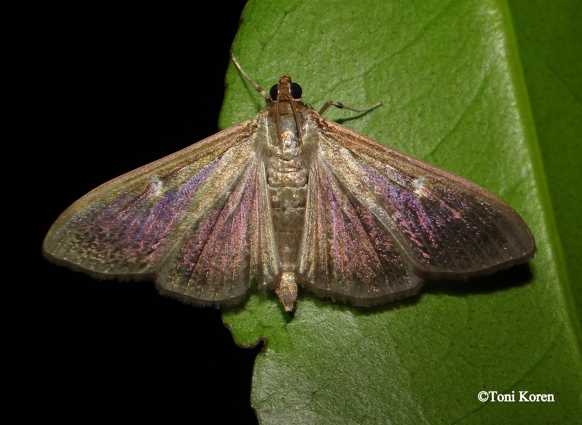 DSC07575 Cydalima perspectalis Crambidae Lepidoptera