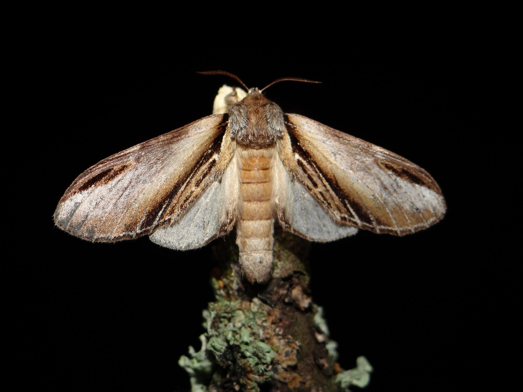 Edu 9 Pheosia tremula Notodontidae Lepidoptera