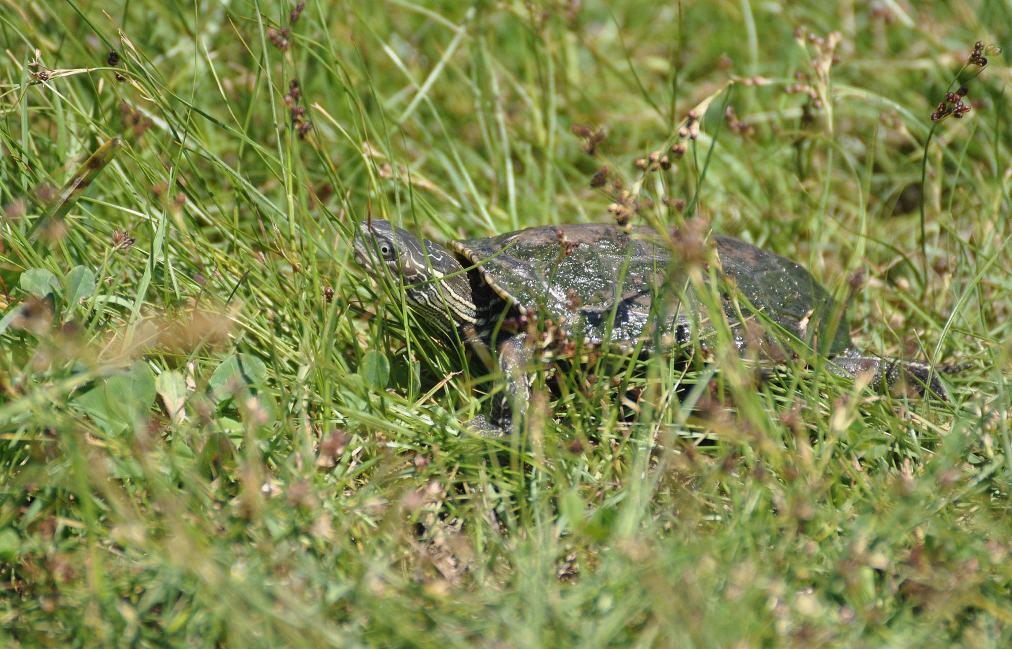 Populacijska istraživanja riječne kornjače u Dubrovačko-neretvanskoj županiji